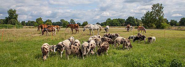 Schafe und Pferde auf einer grünen Wieser